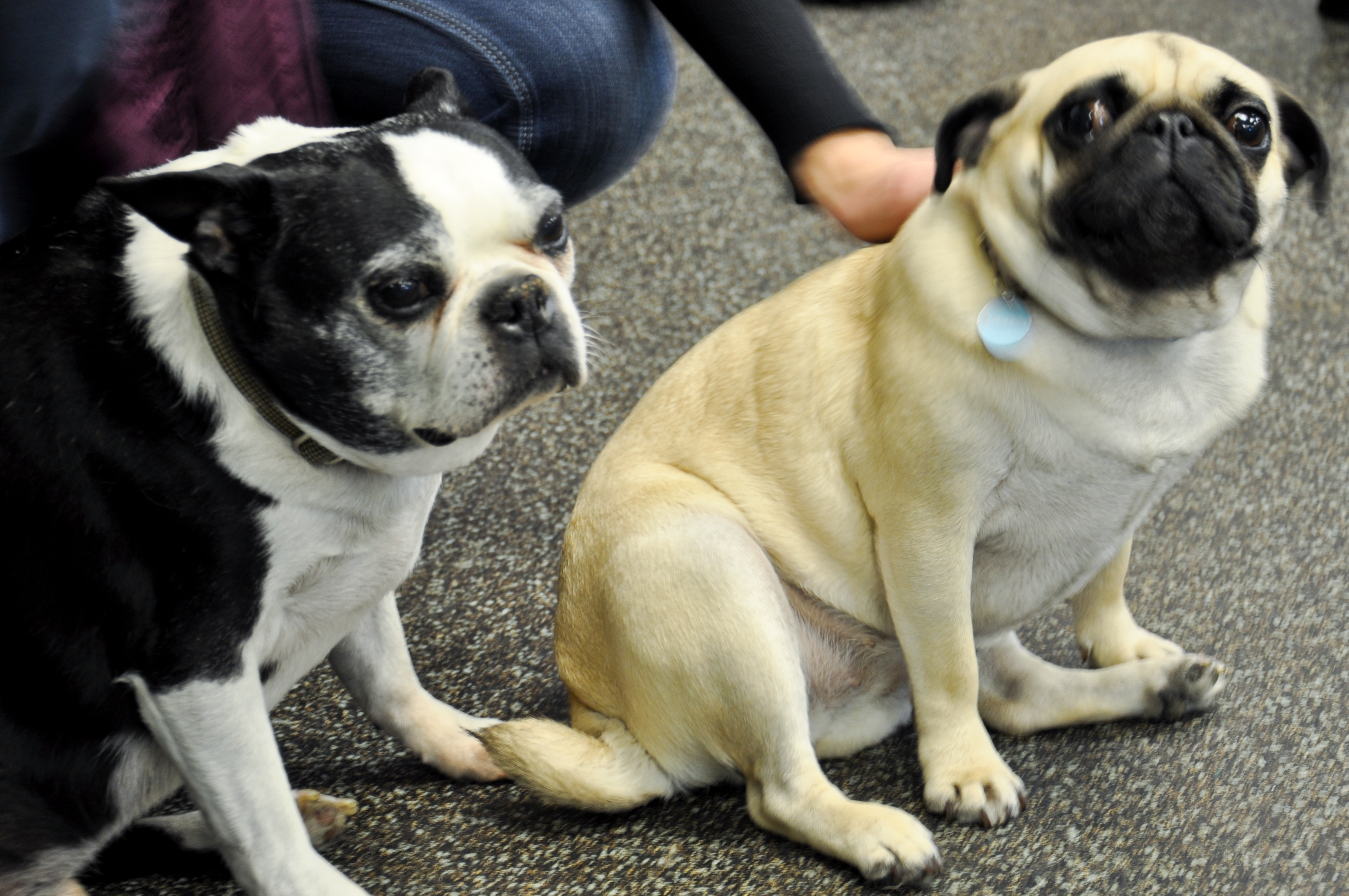 party pugs and boston terriers too sabrina s pug tails